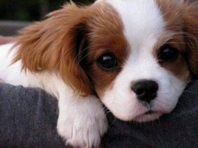 Free Puppy Dog Wallpaper