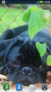 Playful Pugs Live Wallpaper
