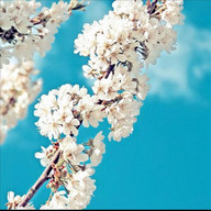 Galaxy sakura live wallpaper