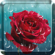 Rose Raindrop Live Wallpaper