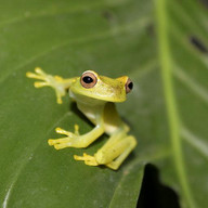 Tree Frogs Live Wallpaper