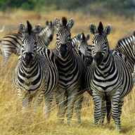 Zebras Live Wallpaper
