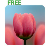 3D Tulip Live Wallpaper Free