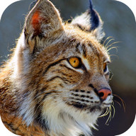 Bobcat Sounds