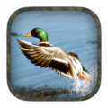 Duck Hunting Calls - Duck calls you can play when you go hunting