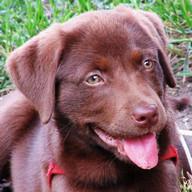 사랑스러운 Labradors의 바탕 화면