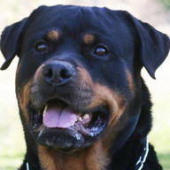 Rottweilers Dog Wallpapers