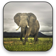 Elephant Free Video Wallpaper