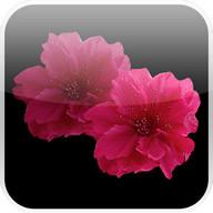 Lovely Red Sakura Live WP