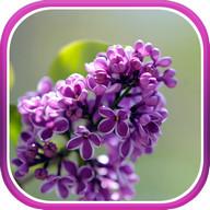 Lilac live wallpaper