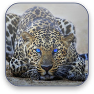 Leopard Free Video Wallpaper