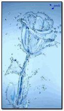 rose de l'eau
