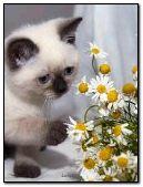 Kitten with chamomile