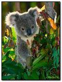 الكوال دب أسترالي