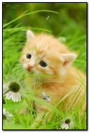 बिल्ली का बच्चा