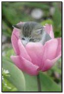 Cat-in-tulpie