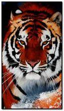Tiger 360?640