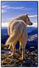 सफेद भेड़िया