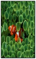 Clown fishes