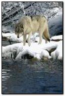 الذئب 2