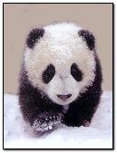 Panda:::
