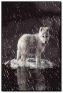 طفل الذئب.