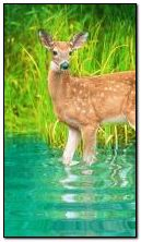 Deer in water
