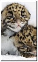 Leopard babys