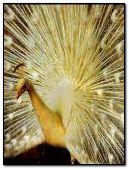peacock glitter