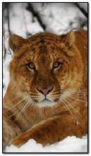 Tigre da neve