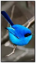طائر أزرق