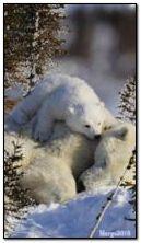 beruang putih gif download dan bagi di phoneky