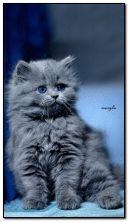 gatinho azul