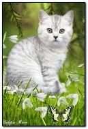 Snowdrops kucing
