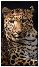 Leopard morph