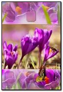 crocus de printemps, abeille, papillon