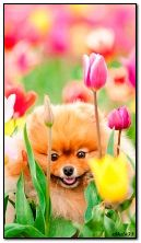 Doggie in tulips
