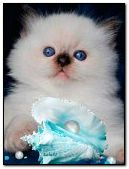 Cute kitten with sea shell