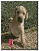 Puppy Yo Yo