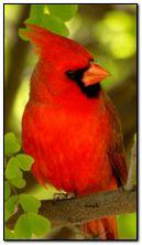 Hồng y chim