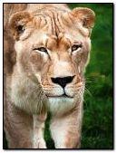 анімована левиця