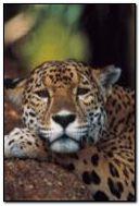 Parler Leopard