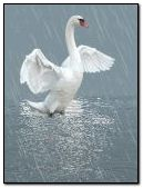 swan 'n rain