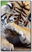 240x400 Sad tiger