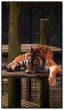 拉玛的大猫宠物