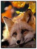 Autumn. Fox. falling leaves .