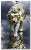 Tiger in the clouds