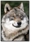 Wolf Face 3D