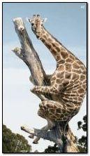 Забавна жирафа