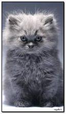 मांजरी